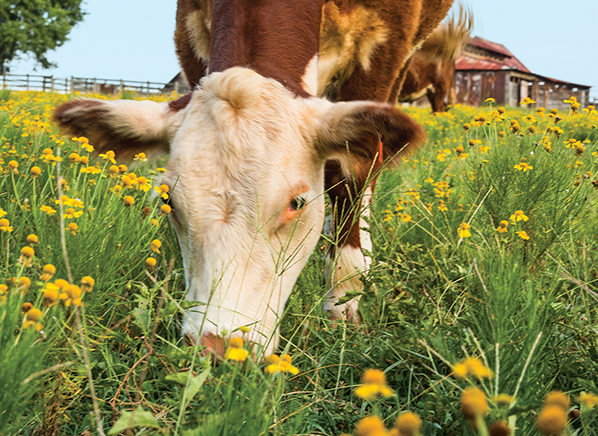 Gras Fed Beef Is Better For you
